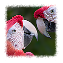 Brother Macaws